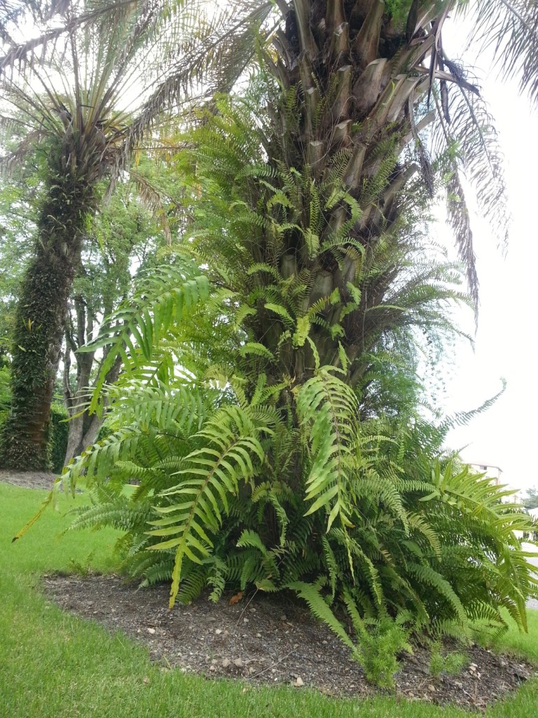 Una palma dilatera es huésped de los helechos.