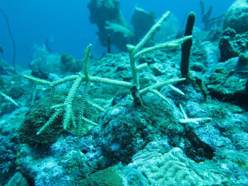 Una vez hayan crecido lo suficiente y el área local esté mejorada, se procede a trasladar el coral. / Once the coral is mature and the local reef has been cleaned, corals are transported to the local. Image: Ruben Torres