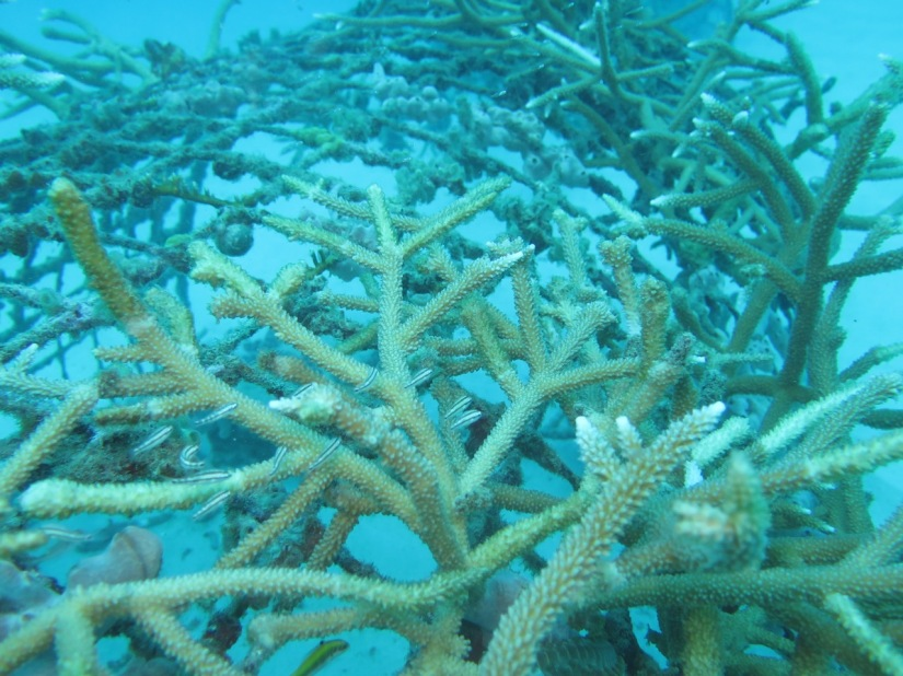 Corales crecen en los viveros para ser trasladados a los arrecifes. / Corals grow in artificial reef, to be transported after local cleaning and maintenance.  Image: Ruben Torres