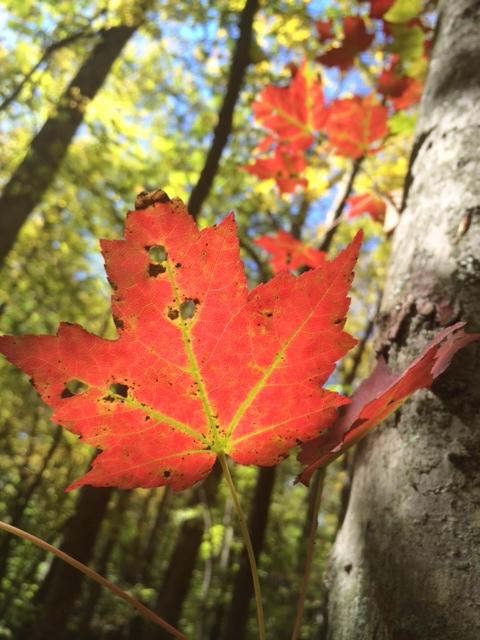 Arbol y hoja del otoño