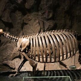 Megalocnus rodens es el perezoso gigante extinto que una vez trepó los árboles cubano.
